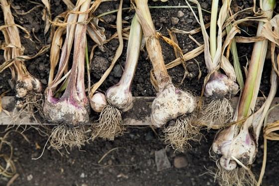 Organic-Centre-garlic