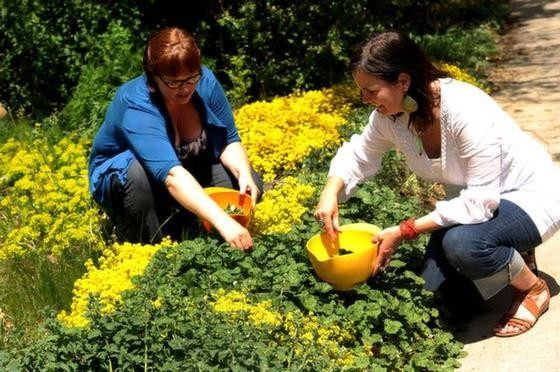 BOULDER, CO - MAY 21: Self proclaimed weed nerds and wild food experts Wendy Petty, left and Erin Smith, right, pick mallow leaves out of the garden in Boulder, CO on May 21, 2013. Smith is an Herbalist and Ethnobotanist who is the founder and director of the Center for Integrative Botanical Studies. Wendy is a wild food expert and teacher. The two demonstrate how anyone can forage in their own backyard and find delicious plants to eat and cook with. (Photo by Helen H. Richardson/The Denver Post)