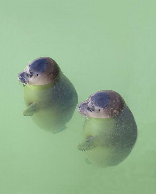 chillingseals
