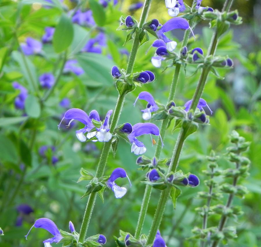 Salvia'Madeline'