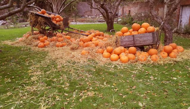 Pumpkin Patch_Kilruddery