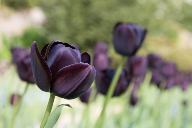 "Dark purple tulip - often referred to as ""black tulips"" - with other tulips in the background. Small blue flowers at ground level amongst the tulips"