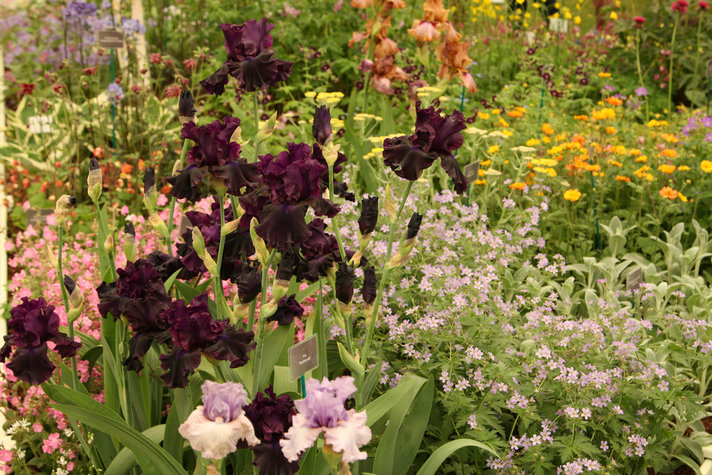Claire Austin's Irses at Chelsea Flower Show Report 2016