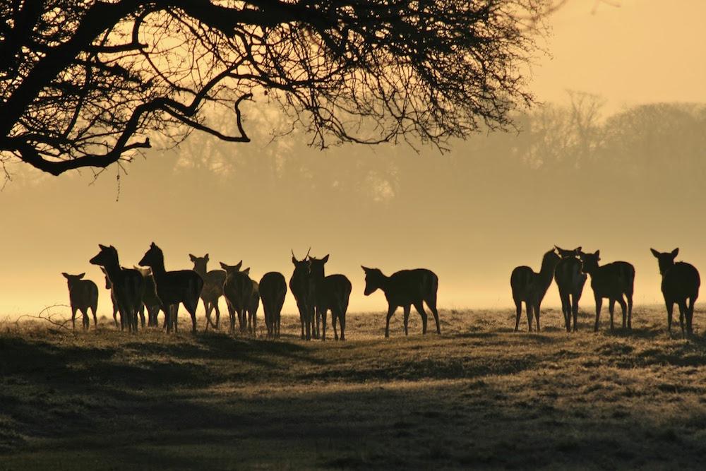 deer-at-dawn-pheonix-park-dublin%0acopyright-prospect-images-2010