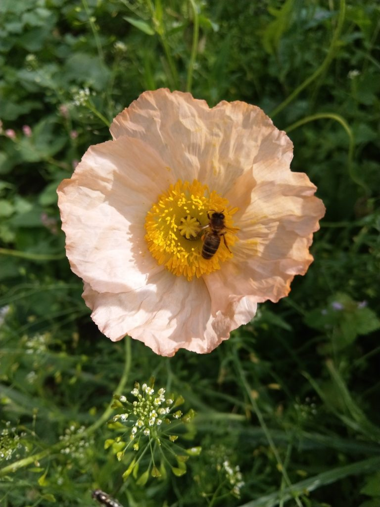 Iceland poppies bee friendly flowers by Britta Baronwsky